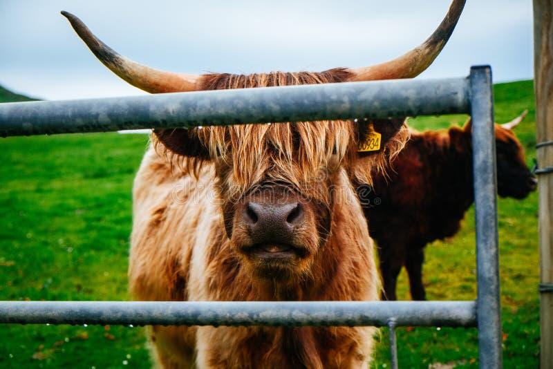 Yak scozzesi pelosi, isola di Skye fotografia stock
