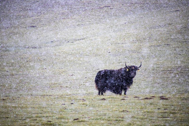 Yak som betar pÃ¥ en snöbete under snön med vinden. kyrgyzstan fotografering för bildbyråer