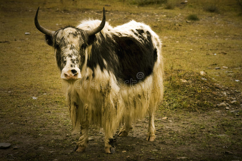 Yak staring in the camera, tibet stock image