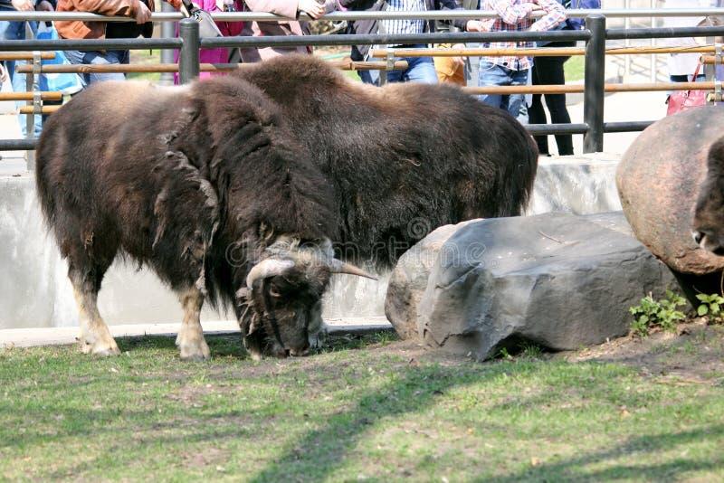Yak steht im Zoo hinter dem Zaun stockfotografie