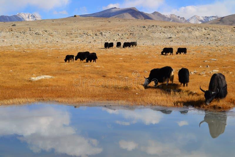 Yak sulla strada principale di Pamir immagini stock