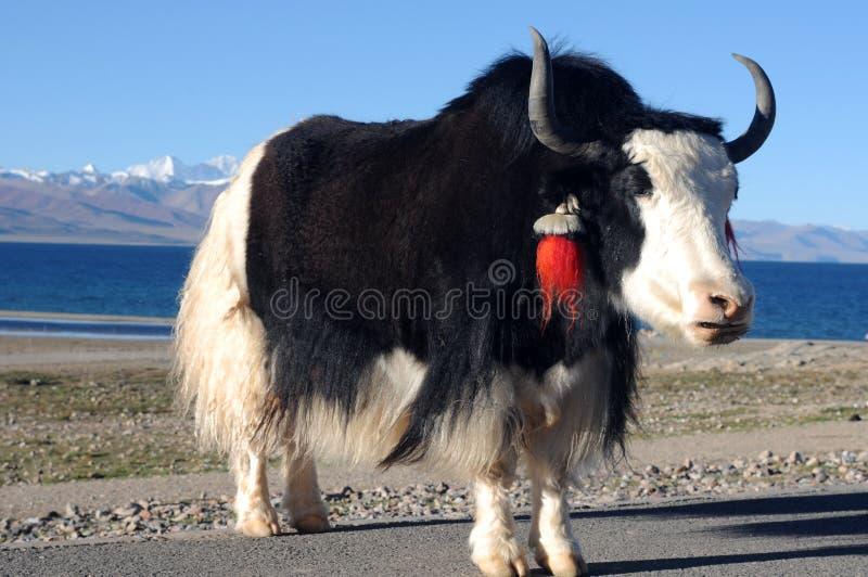Yak in Tibet lizenzfreie stockfotografie