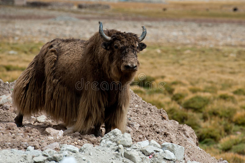 Yak tibetani fotografia stock