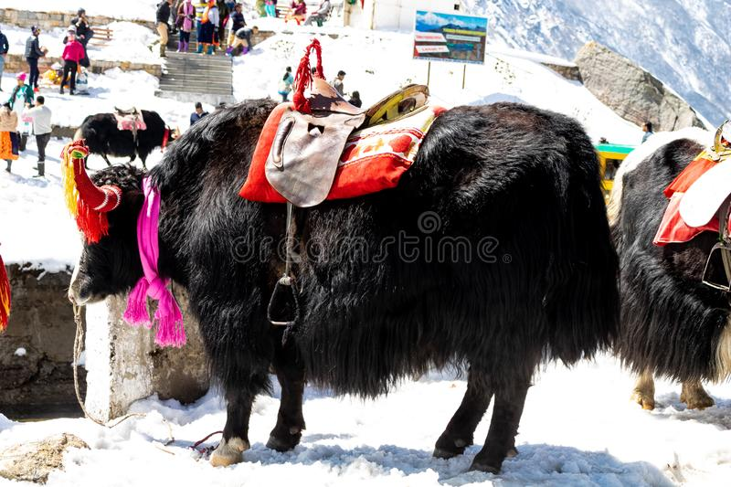 Yak at Tsomgo Lake Changu. A great peacefull Travel destination. Sikkim, India. Tsomgo Lake or Changu lake, The great Himalaya,Sikkim, India Elevation of around royalty free stock photos