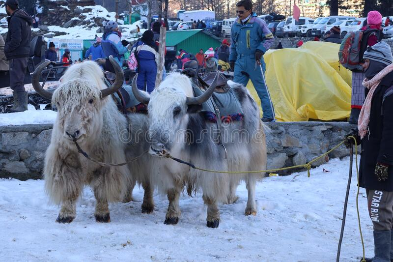 Yak waiting for ride at Solang valley himachal prasesh. Yak waiting for ride at Solang valley himachal stock images