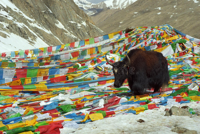 Yak walks by prayer flags on Drolma La Pass. Yak walks by prayer flags on Drolma La Pass with altitude 5650 meters above sea level is highest point of the royalty free stock photo