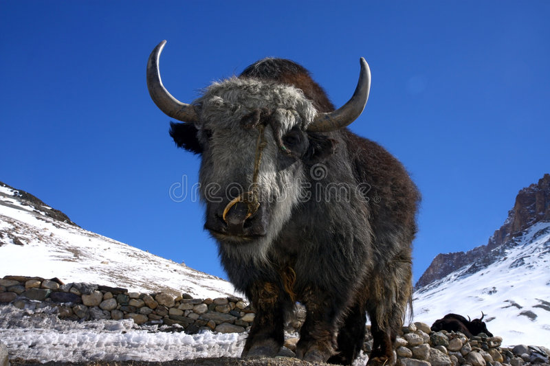 Download Yak In Winter Himalayas Stock Photography - Image: 8607682