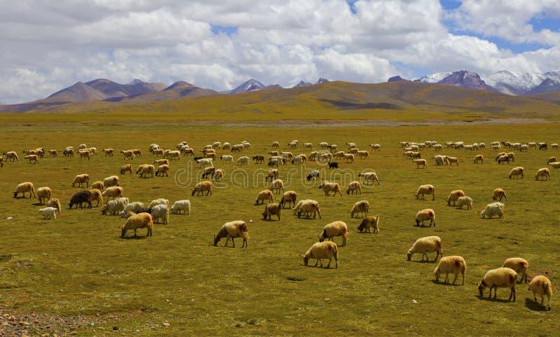 Yakna för tibetan platå arkivfoto