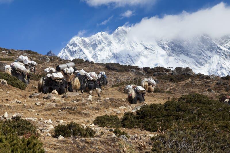 yaks κατά τη διαδρομή στο στρατόπεδο βάσεων Everest, τον όμορφο ηλιόλουστο καιρό και τις θεαματικές απόψεις στοκ εικόνα