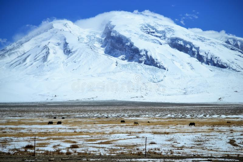 Yaks στο όμορφο τοπίο με τα χιονισμένα βουνά στην εθνική οδό Karakorum σε Xinjiang, Κίνα στοκ εικόνες