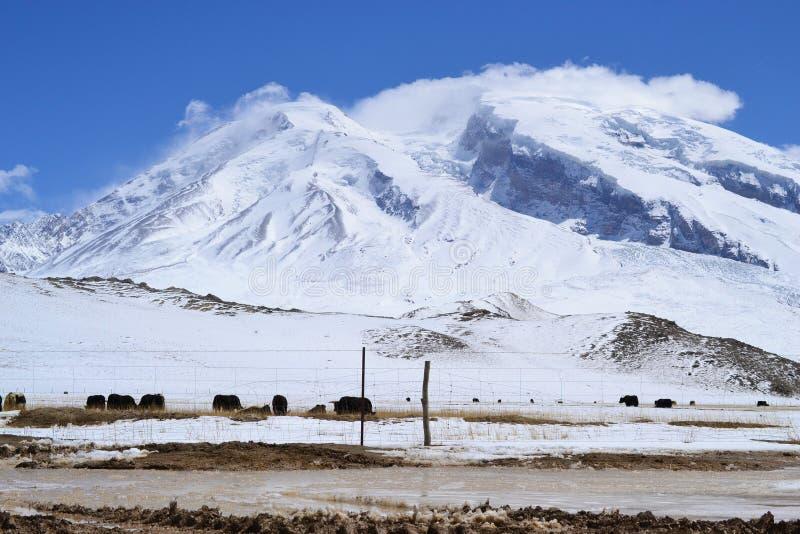 Yaks στο όμορφο τοπίο με τα χιονισμένα βουνά στην εθνική οδό Karakorum σε Xinjiang, Κίνα στοκ εικόνα
