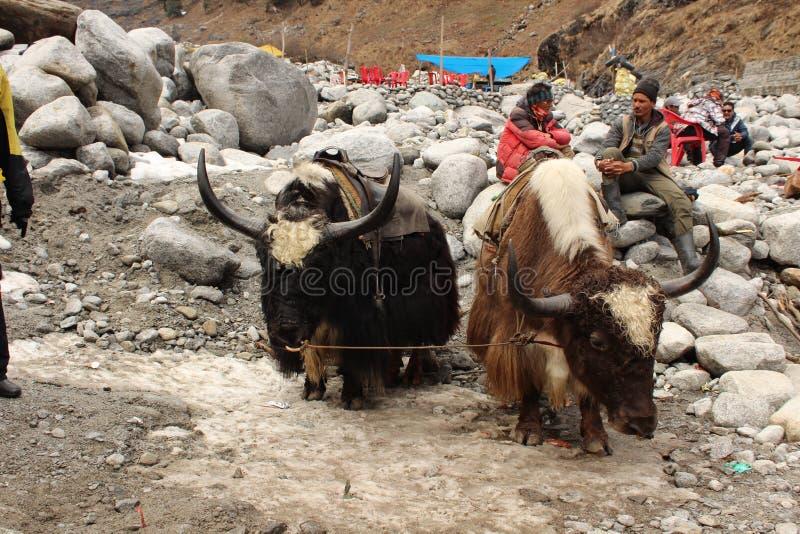 yaks images libres de droits