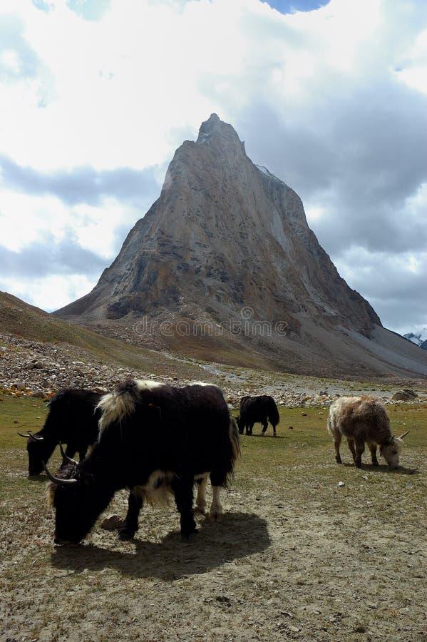 yaks стоковая фотография rf