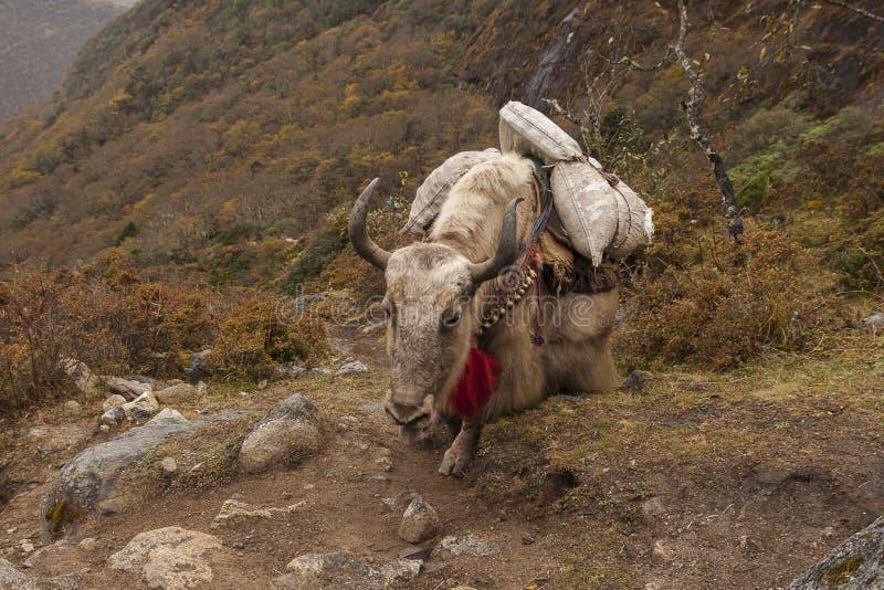 yaks foto de stock