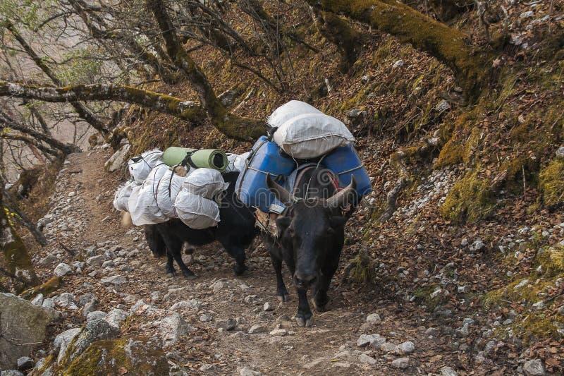 yaks foto de archivo libre de regalías