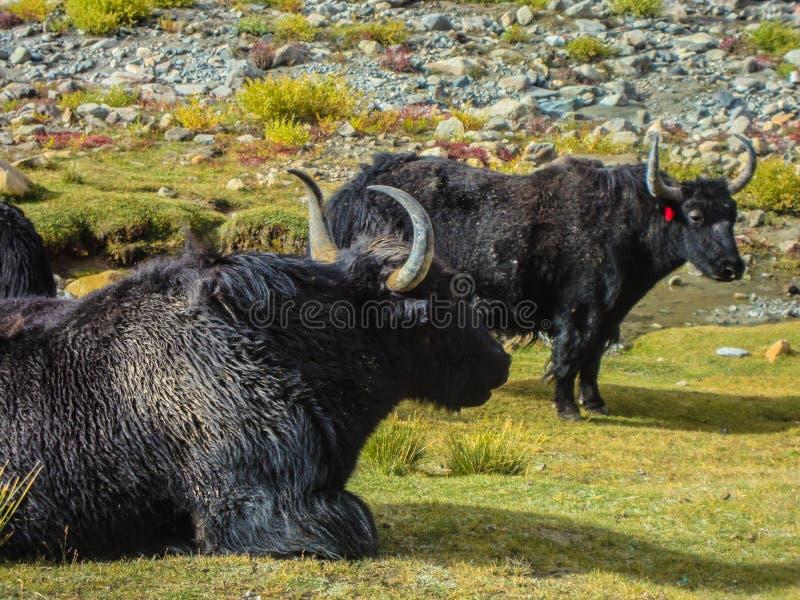 yaks royalty-vrije stock afbeeldingen
