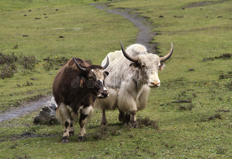 Yaks au Népal photographie stock