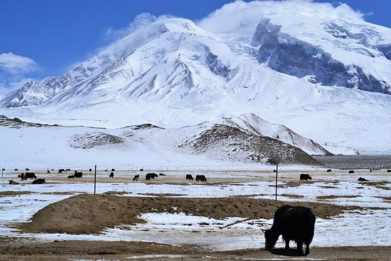 Yaks in beautiful landscape with snow covered mountains at Karakorum highway in Xinjiang, China stock photos