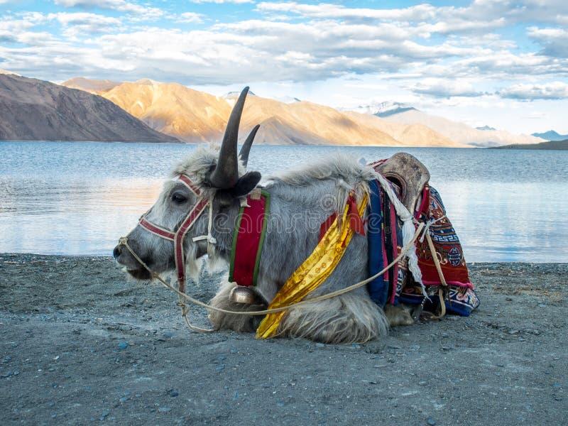 Yaks blancs chez Lakeside, lac Pangong image libre de droits
