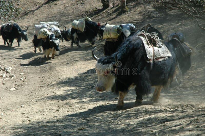 Yaks caravan