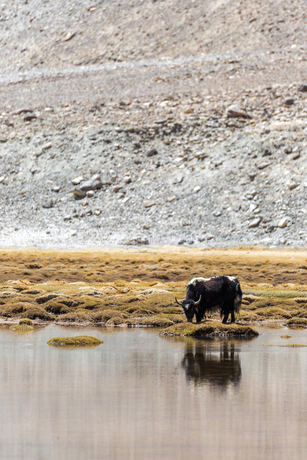 Yaks dans Ladakh images libres de droits