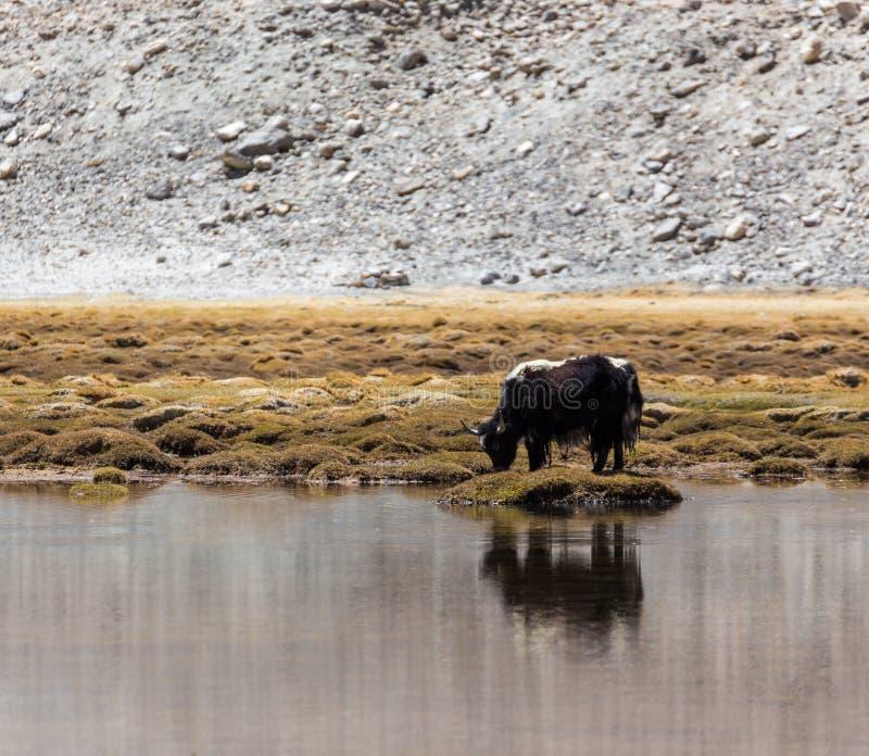 Yaks dans Ladakh image stock