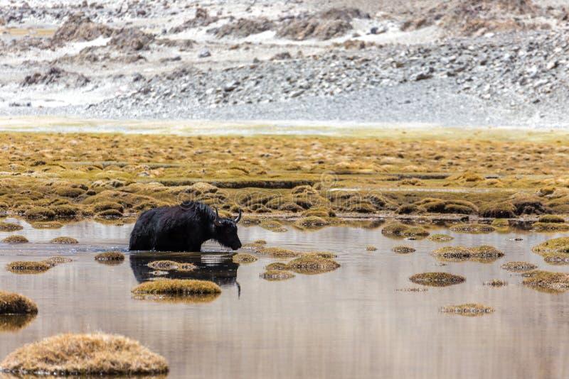 Yaks dans Ladakh image libre de droits