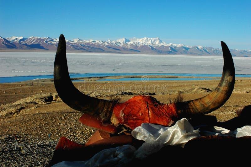 yaks de klaxon photo stock