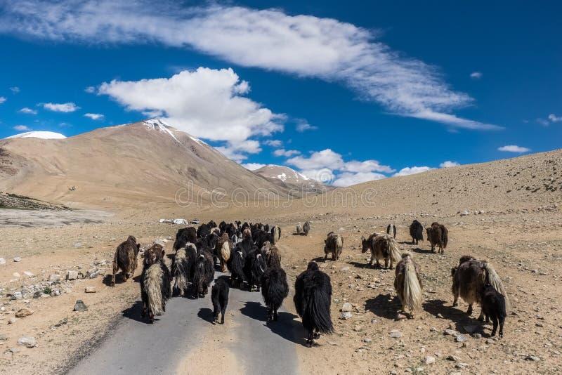Yaks dichtbij Tso Moriri Meer in Changtang, Ladakh, India royalty-vrije stock foto