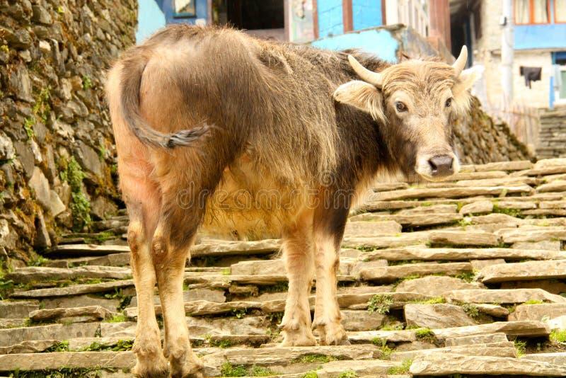 Yaks domestiques au circuit d'Annapurna photos stock