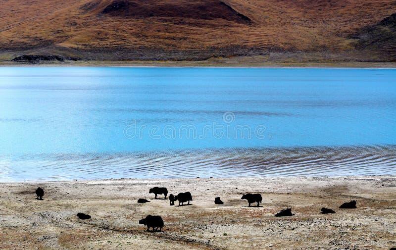 Yaks door de oever van het meer royalty-vrije stock foto's
