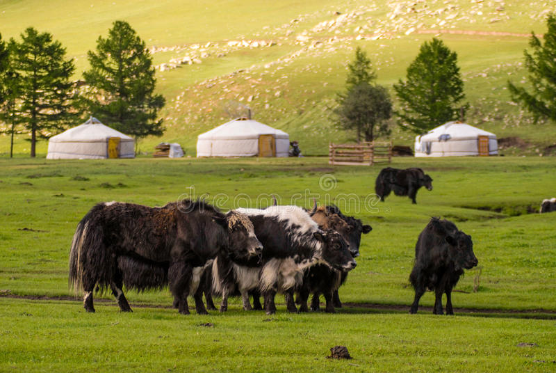 Yaks en Mongolie photos stock