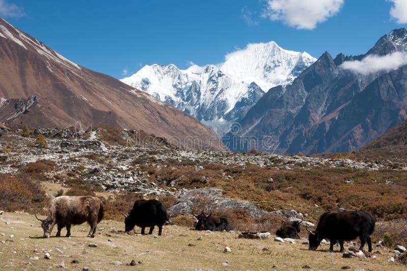 Yaks en vallée de Langtang, parc national de Langtang, Rasuwa Dsitrict, Népal photo libre de droits