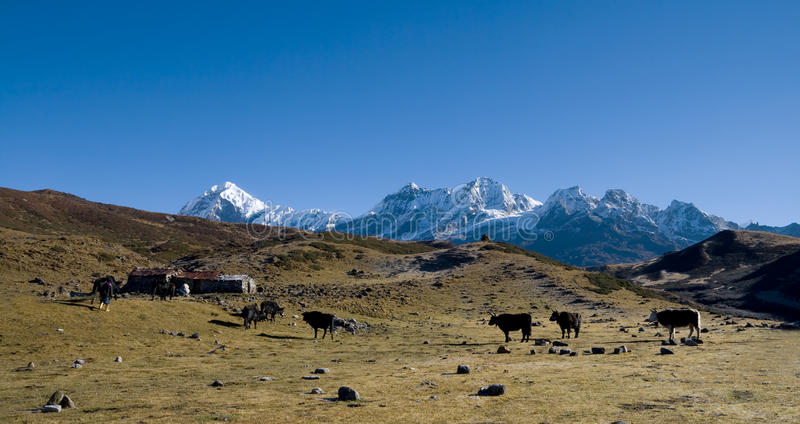 Download Yaks Graze On Alpine Pastures Stock Photo - Image: 17956582