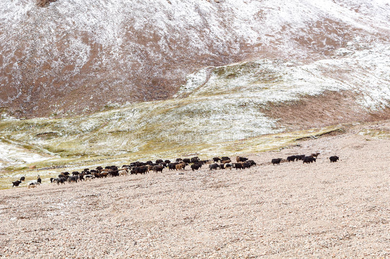 Download Yaks Graze In The Mountains Stock Photo - Image: 33908774