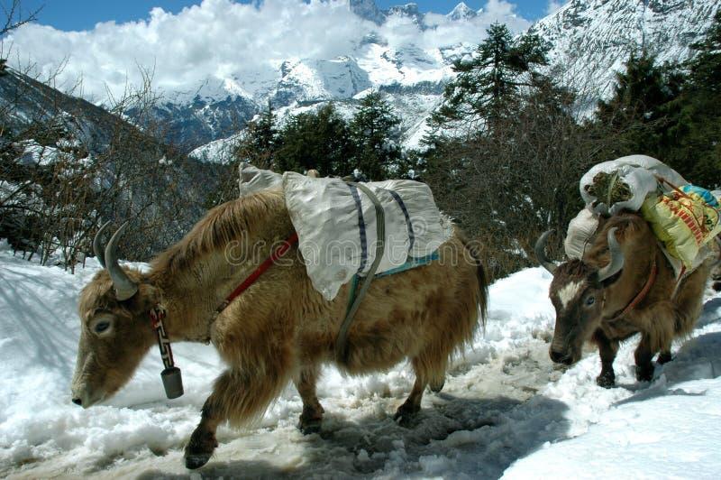 Yaks in het Himalayagebergte royalty-vrije stock afbeeldingen