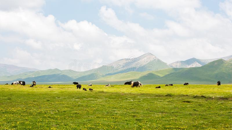 The yaks in the highland meadows. The yaks in the highland meadows with white cloud and blue sky at Qinghai province of China stock photo