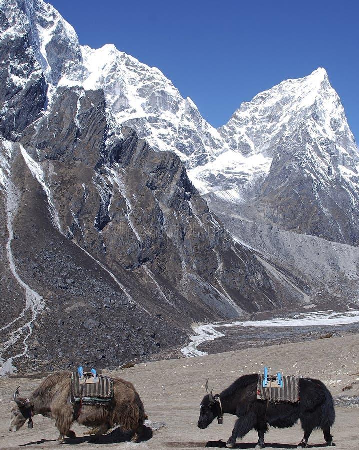 Yaks Himalayan immagine stock