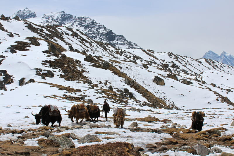 Yaks in the Himalayas stock image