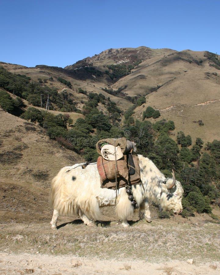 Yaks marchant le long d'un journal de l'Himalaya photo stock