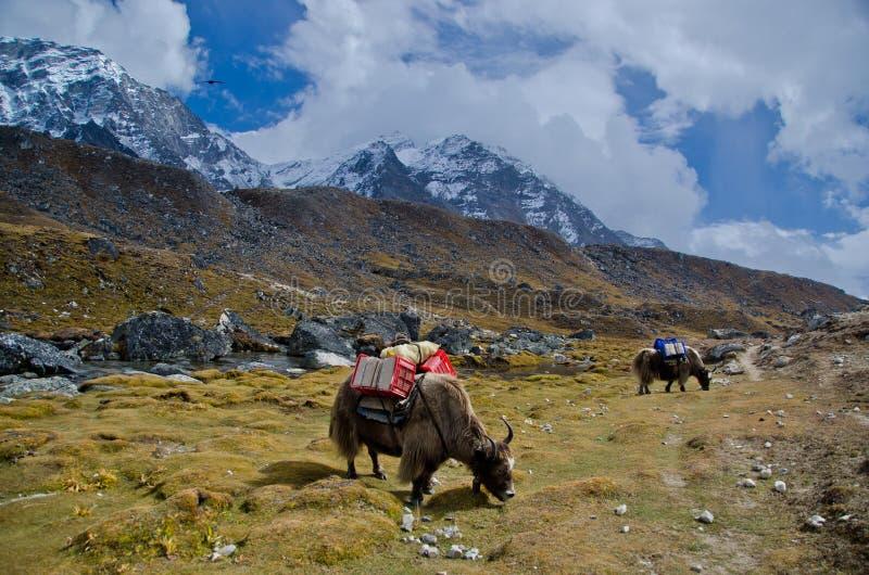 Yaks in Nepal stockfotos