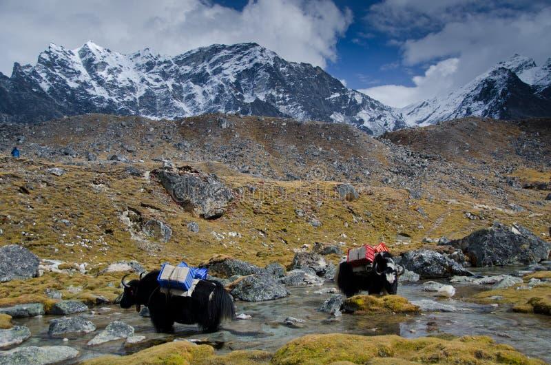 Yaks in Nepal lizenzfreie stockfotos