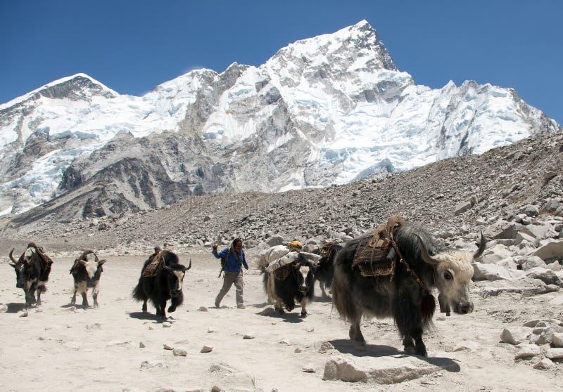 Yaks and Nepalese people near Gorak shep village royalty free stock images