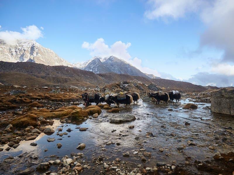 Yaks niesie ładunki na sposobie Everest podstawowy obóz, Everest region, himalaje, Nepal obraz royalty free