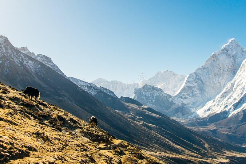 Yaks niesie ciężar w górze, Nepal obraz royalty free