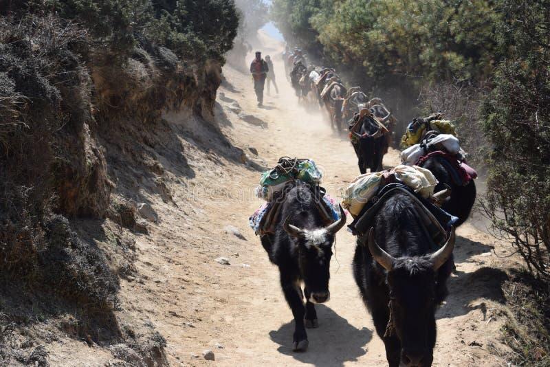 Yaks op een weg in het Himalayagebergte royalty-vrije stock fotografie