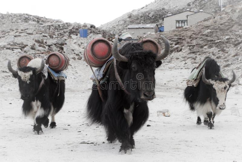 Yaks op het werk stock foto