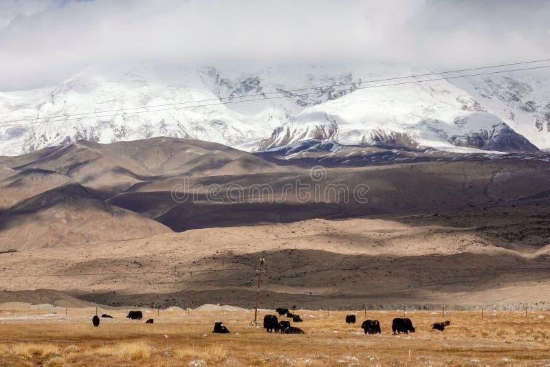 Yaks på foten av det Muztagata berget på Pamirs i nedgång royaltyfri bild