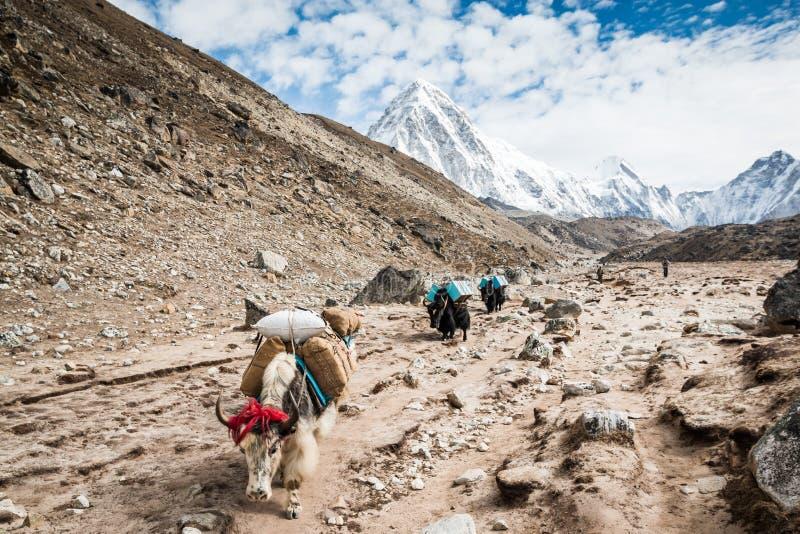 Yaks pendant le voyage Everest Népal photos libres de droits