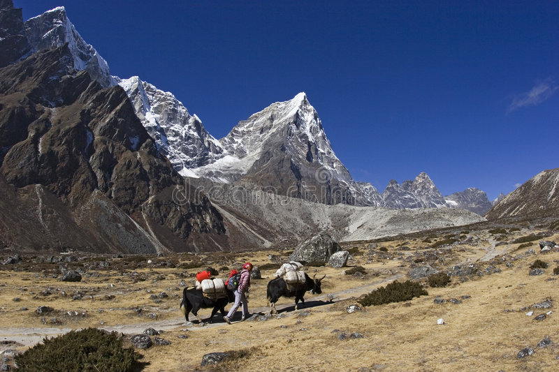 Yaks in Pheriche of Nepal stock image